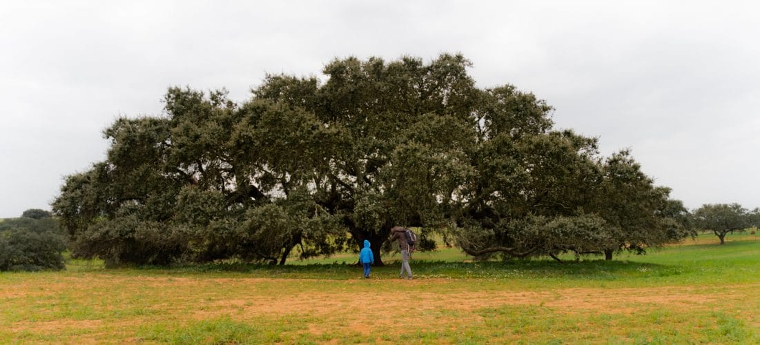 secular holm oak tree
