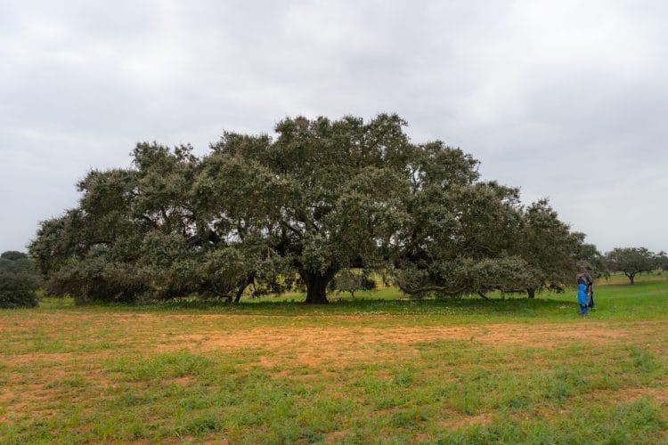 holm oak treetop