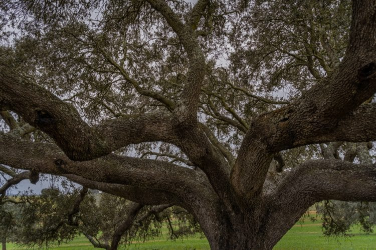 secular holm oak tree