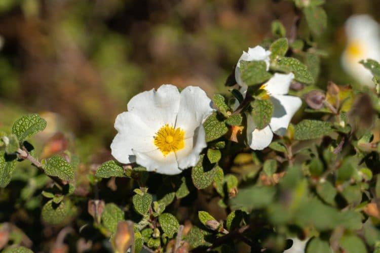 flor alentejo