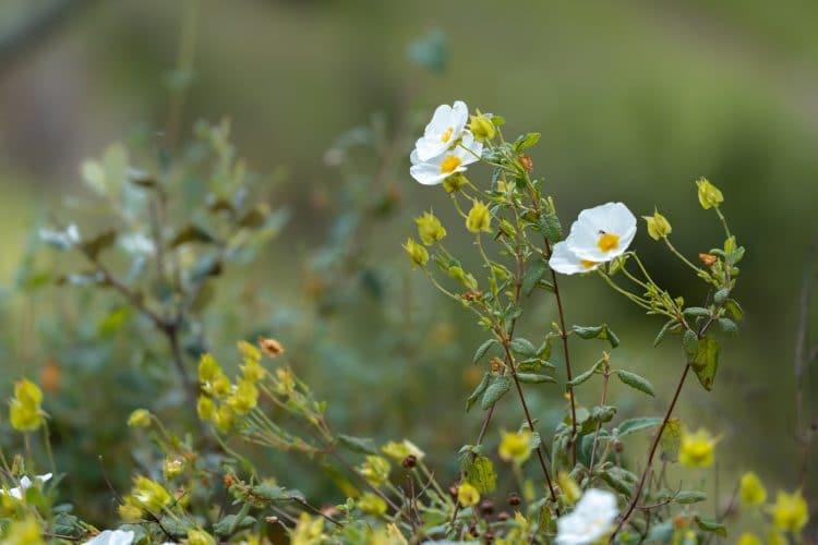 flower from alentejo