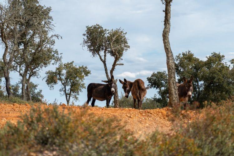 donkeys roaming free