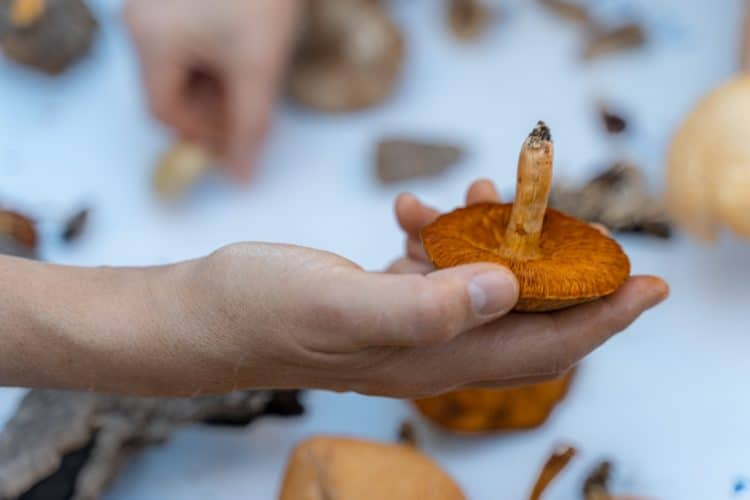 cogumelo festival
